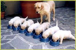 chiot-alimentation