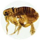 parasites-puces