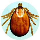 parasites-tiques