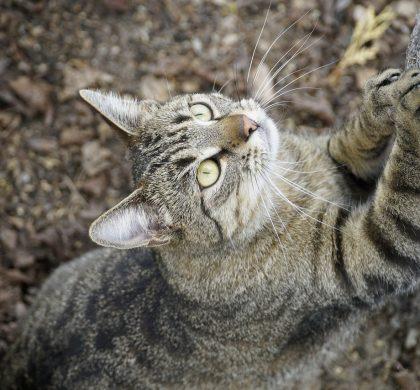 Arrêt du dégriffage (onyxectomie) chez le chat à L'HVDS